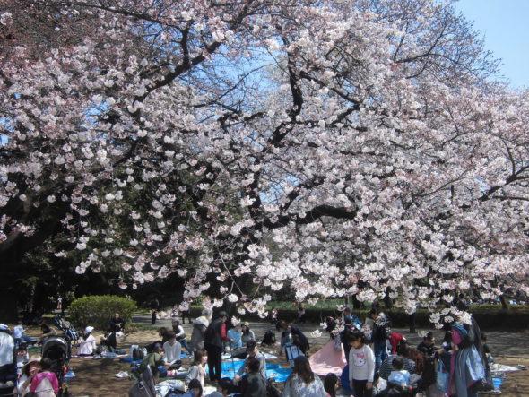 新宿御苑の桜2020!見頃やライトアップの期間と混雑を回避する方法は?